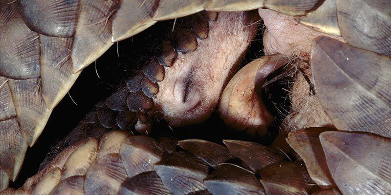 Ihr Panzer hat sie nicht genug vor den Menschen geschützt. Schuppentiere sind die meist-geschmuggelten Säugetiere der Welt.