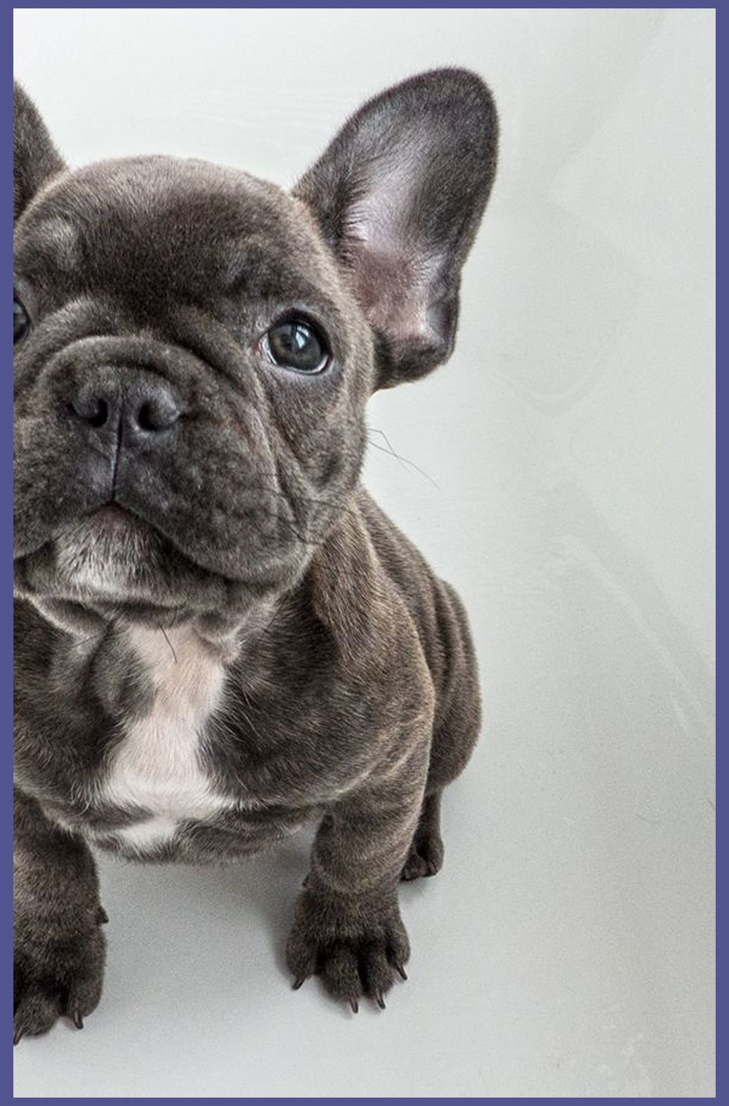 Dive to buyers guide miniature bulldog puppy when