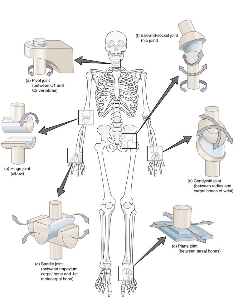 Joints of the body | Occupational Therapy | Pinterest | Para ...