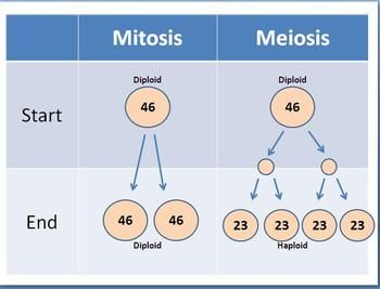 The eternal battle of mitosis comprehension vs. meiosis ...