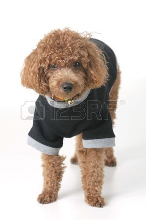 Stock Photo Brown Toy Poodle Poodle Cute Little Dogs