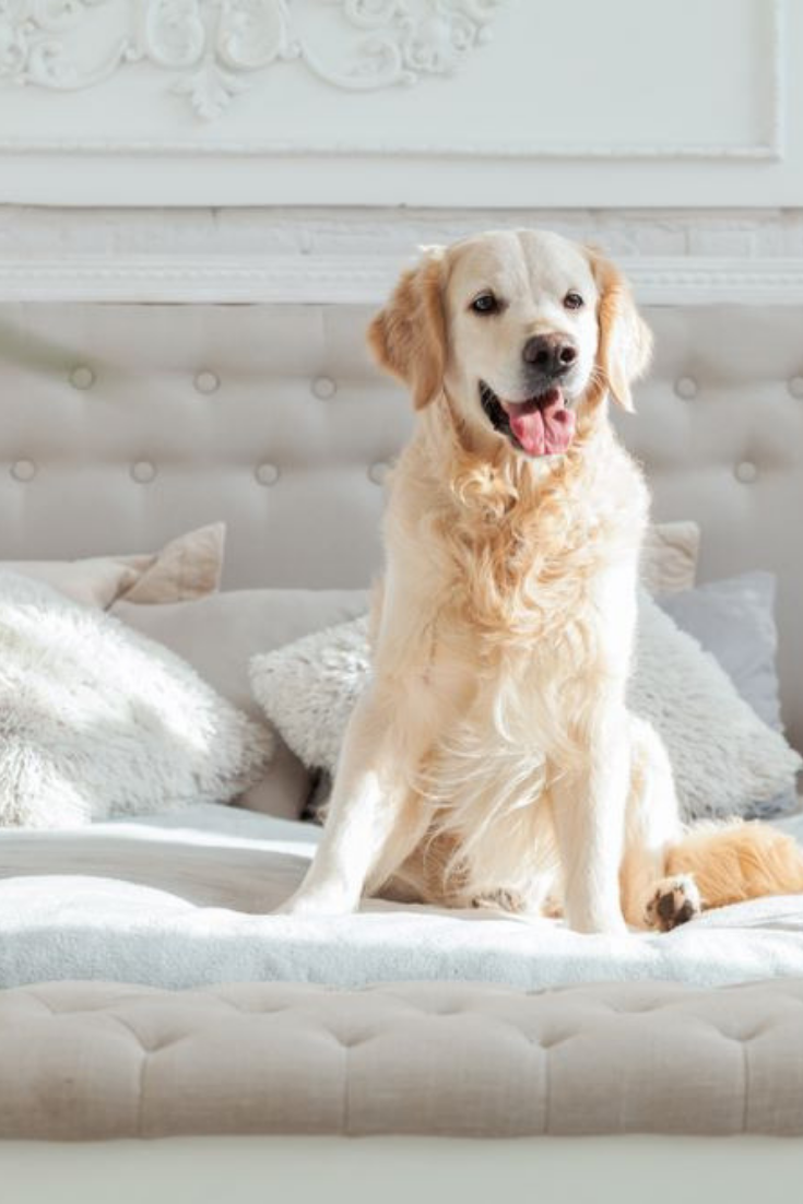 Golden Retriever Puppy Dog In Luxurious Bright Colors Classic