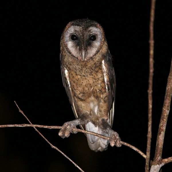 Taliabu Masked Owl (Tyto nigrobrunnea) by Rob Hutchinson ... - photo#2
