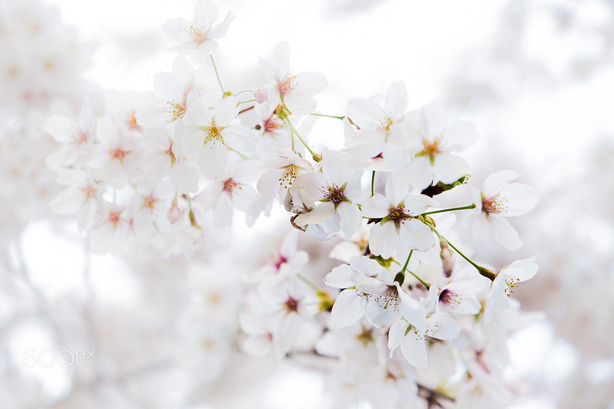 Cherry Blossom Null White Cherry Blossom Blossom Cherry Blossom