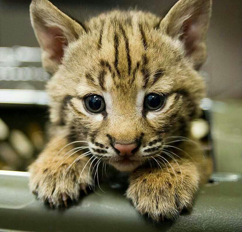 Baby Bobcat ♡ 2 cute! Baby bobcat, Baby animals, Cool pets