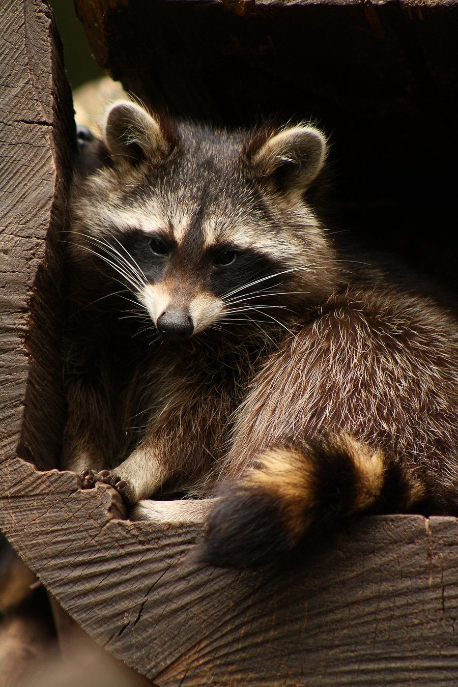 North American raccoon by on