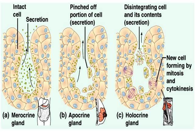 Merocrine/Eccrine, Apocrine & Holocrine Glands | MSK | Pinterest