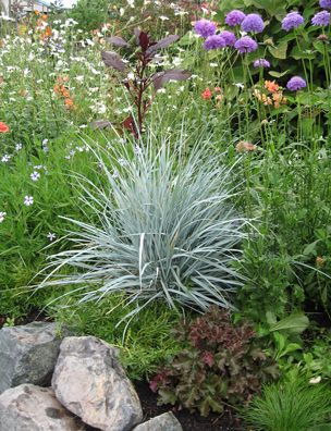 The bluest grass i ve ever grown from south america this for Hardy grasses for the garden