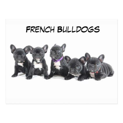 Cute French Bulldog Puppies Postcard Zazzle Com Bulldog