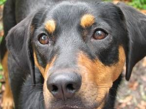 Black And Tan Coonhound Dogs Pets Cute And Docile Coonhound