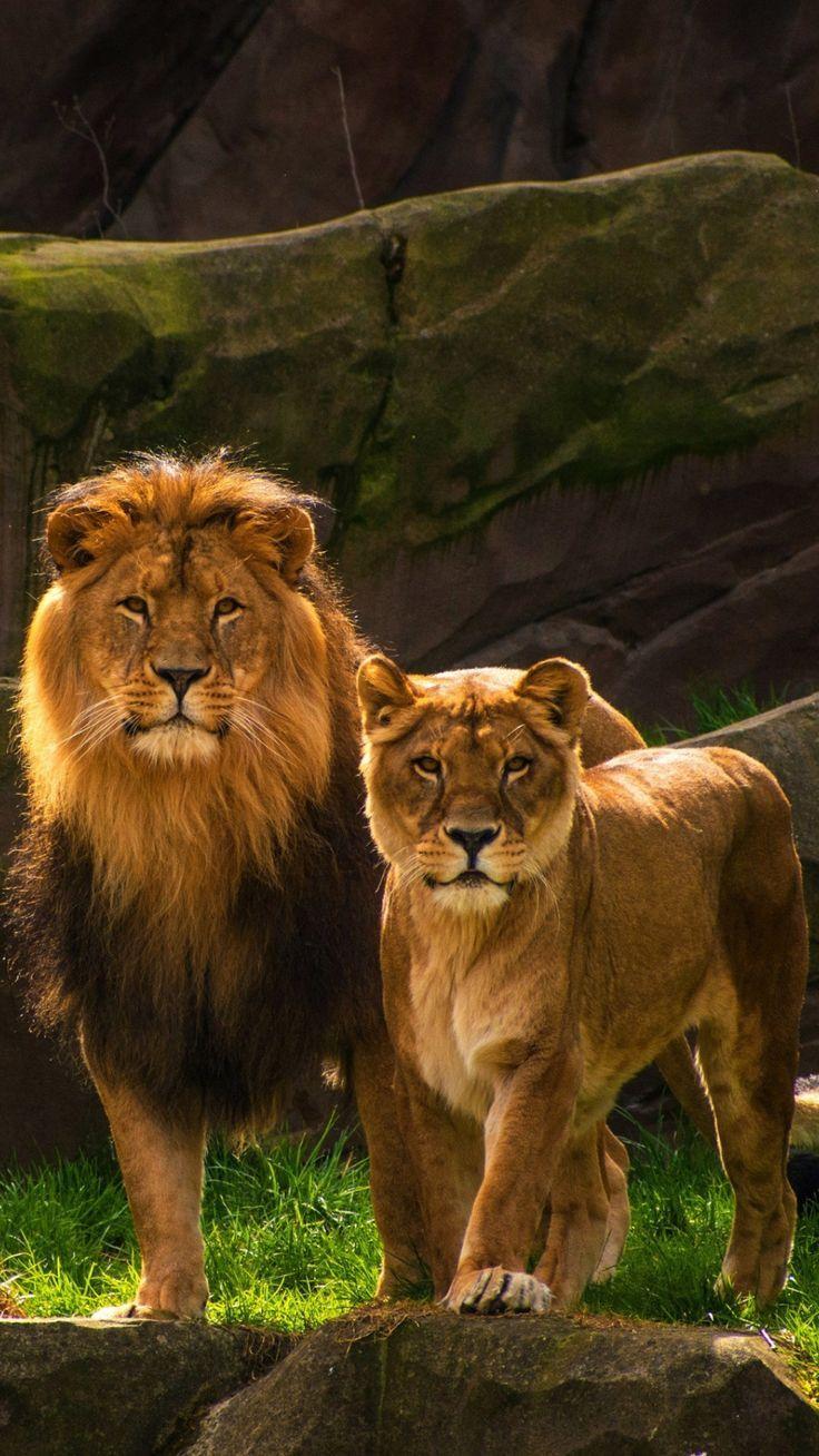 Tiger HD wallpaper,  #animalsplanetwallpaper #Tiger #wallpaper