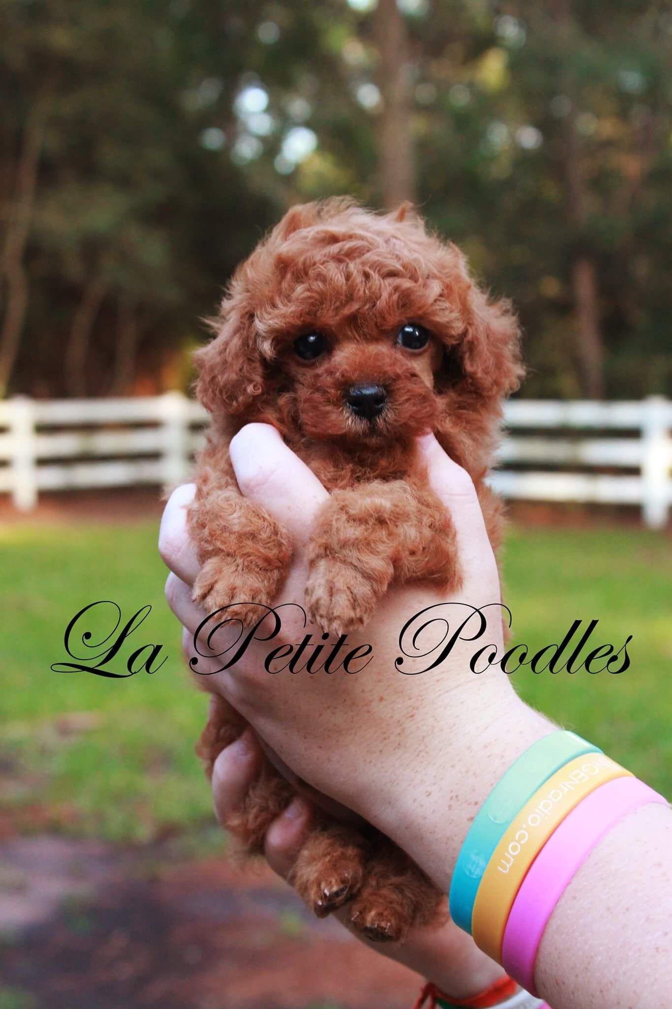 La Petite Poodles Poodle Dog Love Puppy Love
