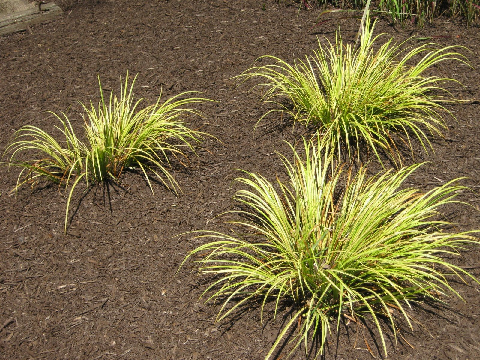 Sweet flag ornamental grass these stay short and come for Short landscape grasses