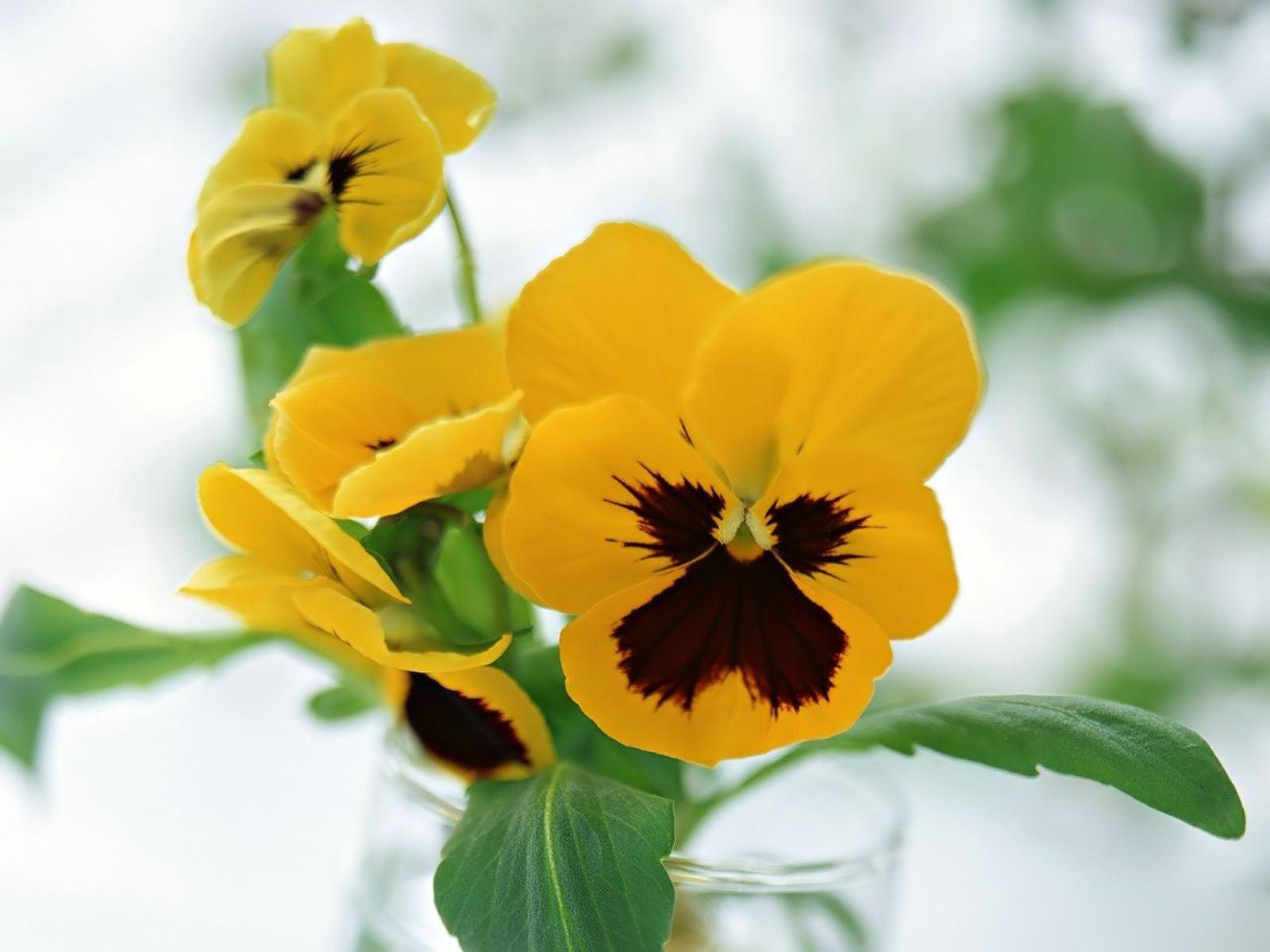 Perfeito Pansies Flowers Pansies Yellow Flower Wallpaper