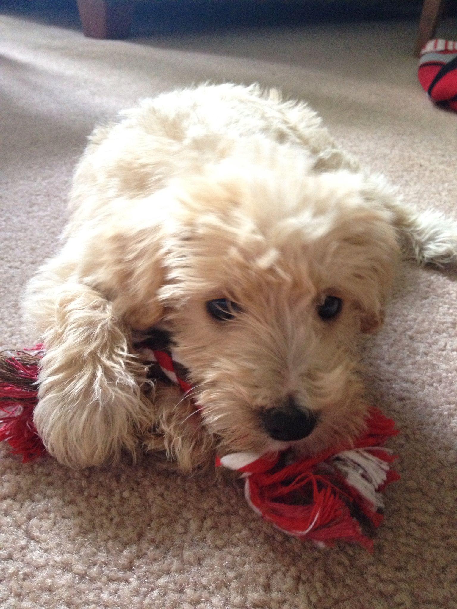 Mini Schnoodle Puppy Schnoodle Puppy Schnoodle Schnoodle Dog