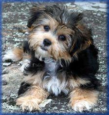 Morkie puppies,Morkie puppy,Teacup Morkie puppy,Morkie puppy
