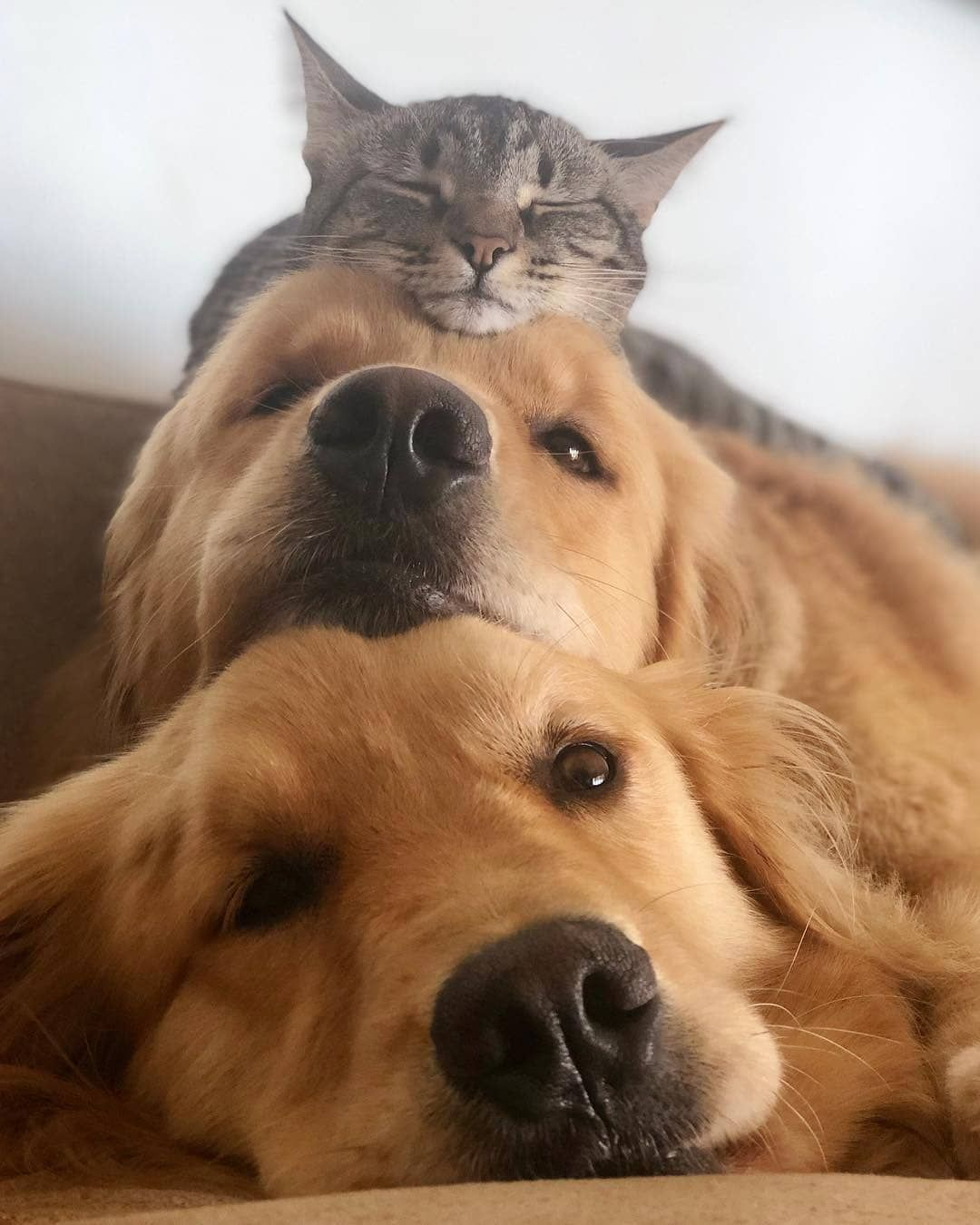 Everything You Want To Know About Golden Retrievers Including Grooming Training Health Problems Histo Golden Retriever Baby Big Fluffy Dogs Golden Retriever