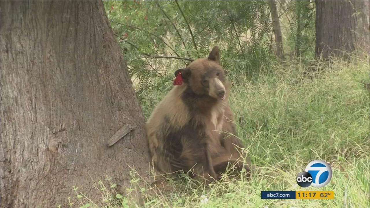 Small dog chases large bear through yard of Bradbury home