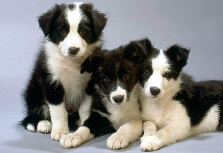 Border Koli Rasa O Rasi Border Collie Puppies Border Collie Puppy Training Collie Puppies
