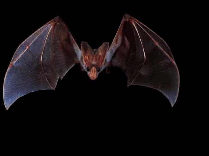 Australian False Vampire Bat / Ghost Bat (Macroderma gigas) {!--유령박쥐(호주)-->…