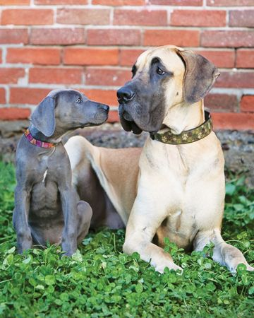 Great Dane Puppy And Full Grown Dog Great Dane Puppy Dogs