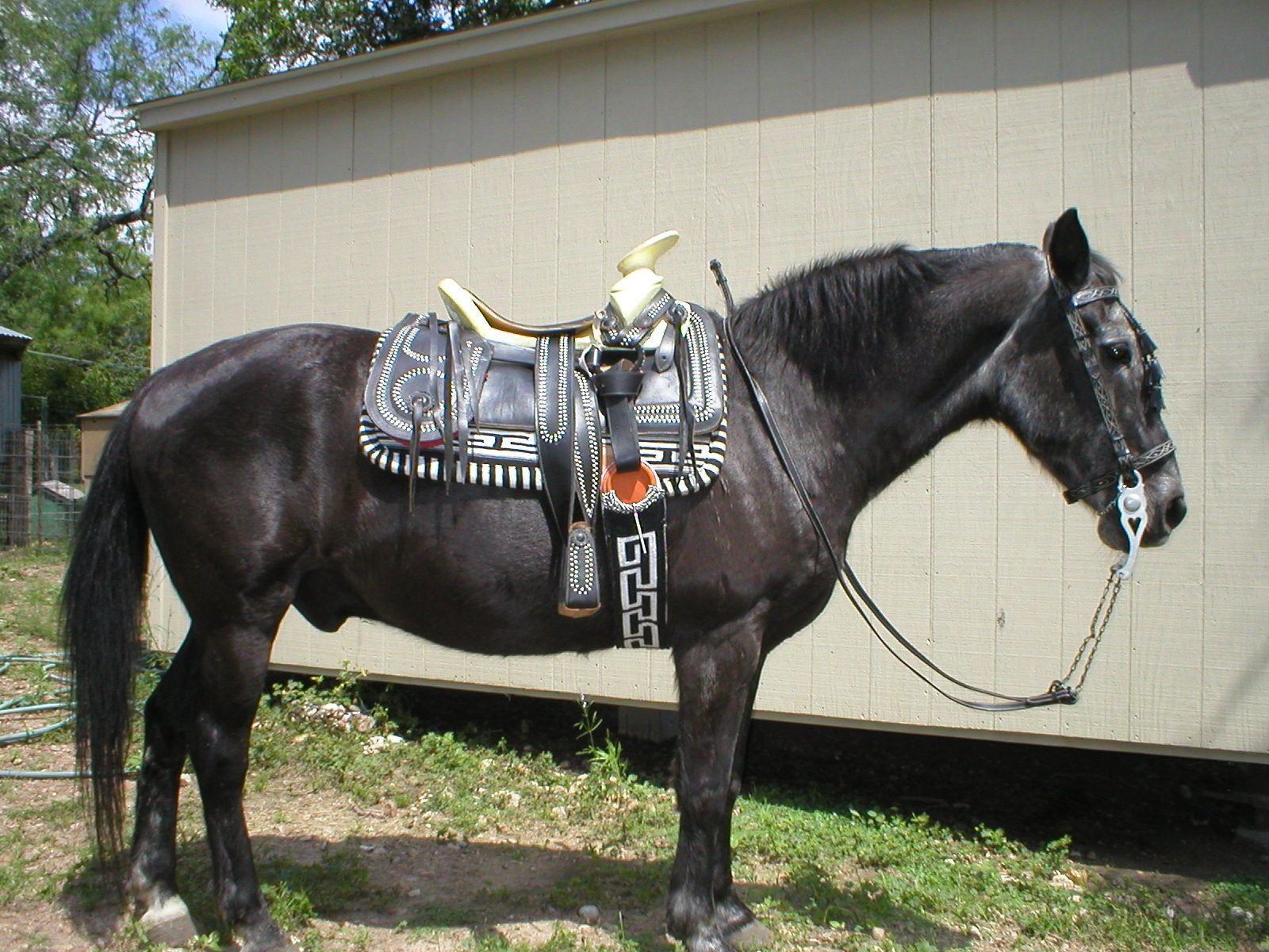 my own horse Jazz modeling a charro saddle I had for sale ...