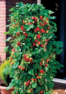 Growing Strawberries Vertically My Raised Bed Vegetable Garden Plants Growing Strawberries Vertically Strawberry Plants