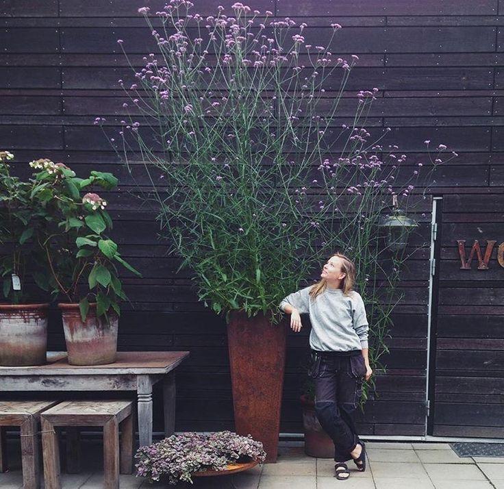 Verbena bonariensis – Purpletop – wächst bis zu 6ft hoch und 3ft breit. Mehrjährige i …,  #…