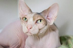 Josefina Is An Adoptable Sphynx Hairless Cat Cat In New York Ny Mym Feline Ality Love Bug Do You Seek Affection I Do Hairless Cat Rex Cat Love Your Pet