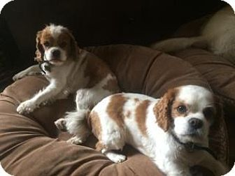 San Luis Rey, CA - Cavalier King Charles Spaniel. Meet Buddy and Hope, a dog for adoption. http://www.adoptapet.com/pet/13341041-san-luis-rey-california-cavalier-king-charles-spaniel