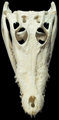Would Love To Get A Croc Skull Tattoo I Find Them Fascinating