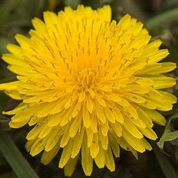Most People Try To Eradicate This Wonderful Healing Herb Includes Candied Dandelion Flower Recipe Dandelion Benefits Dandelion Root Tea Dandelion Root