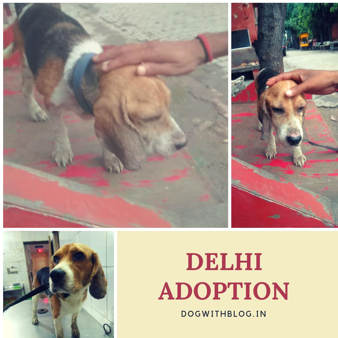 Beagles for adoption Delhi Beagle, Dogs