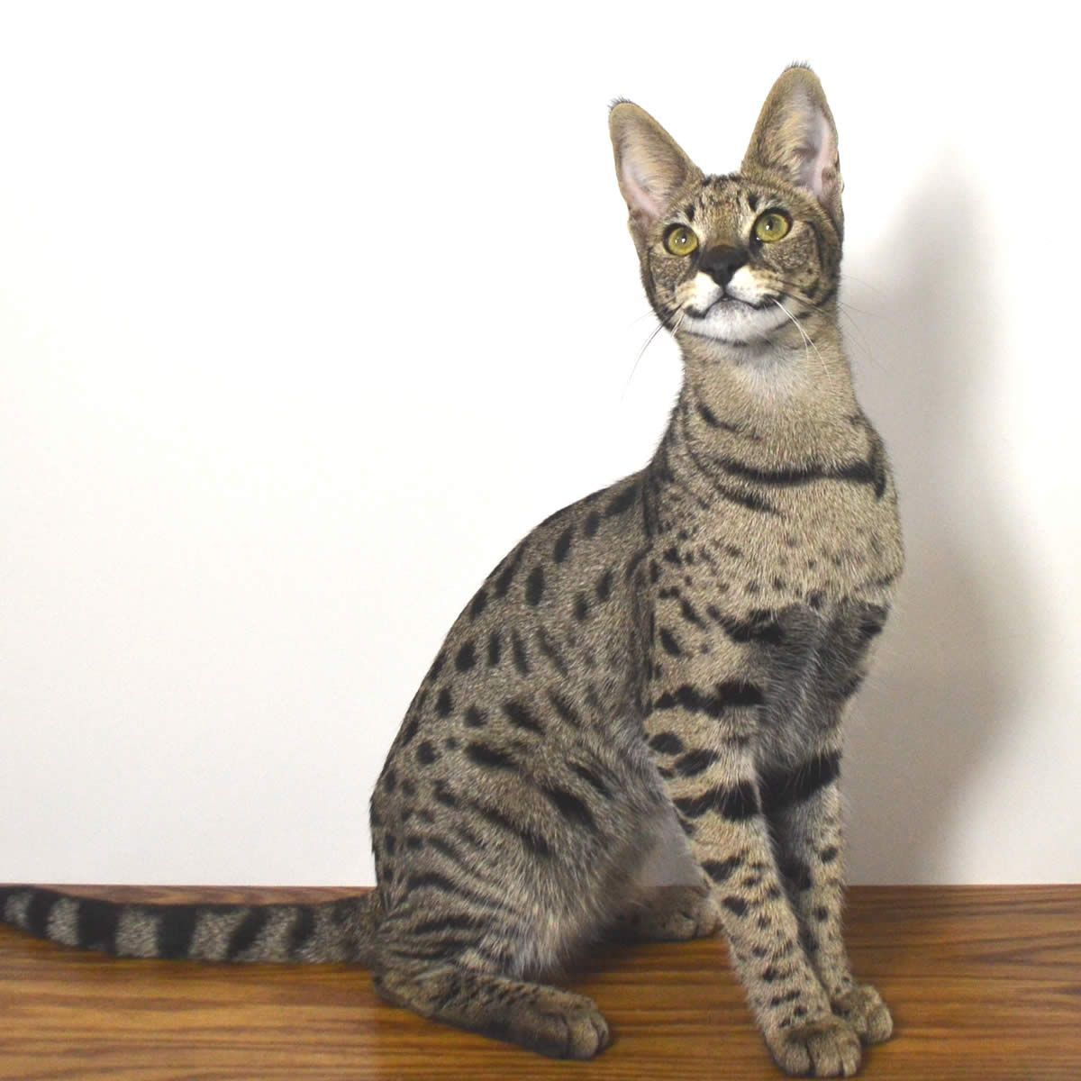 F1 Savannah Cat Savannah Cat Price Savannah Cat F5 Savannah Cat