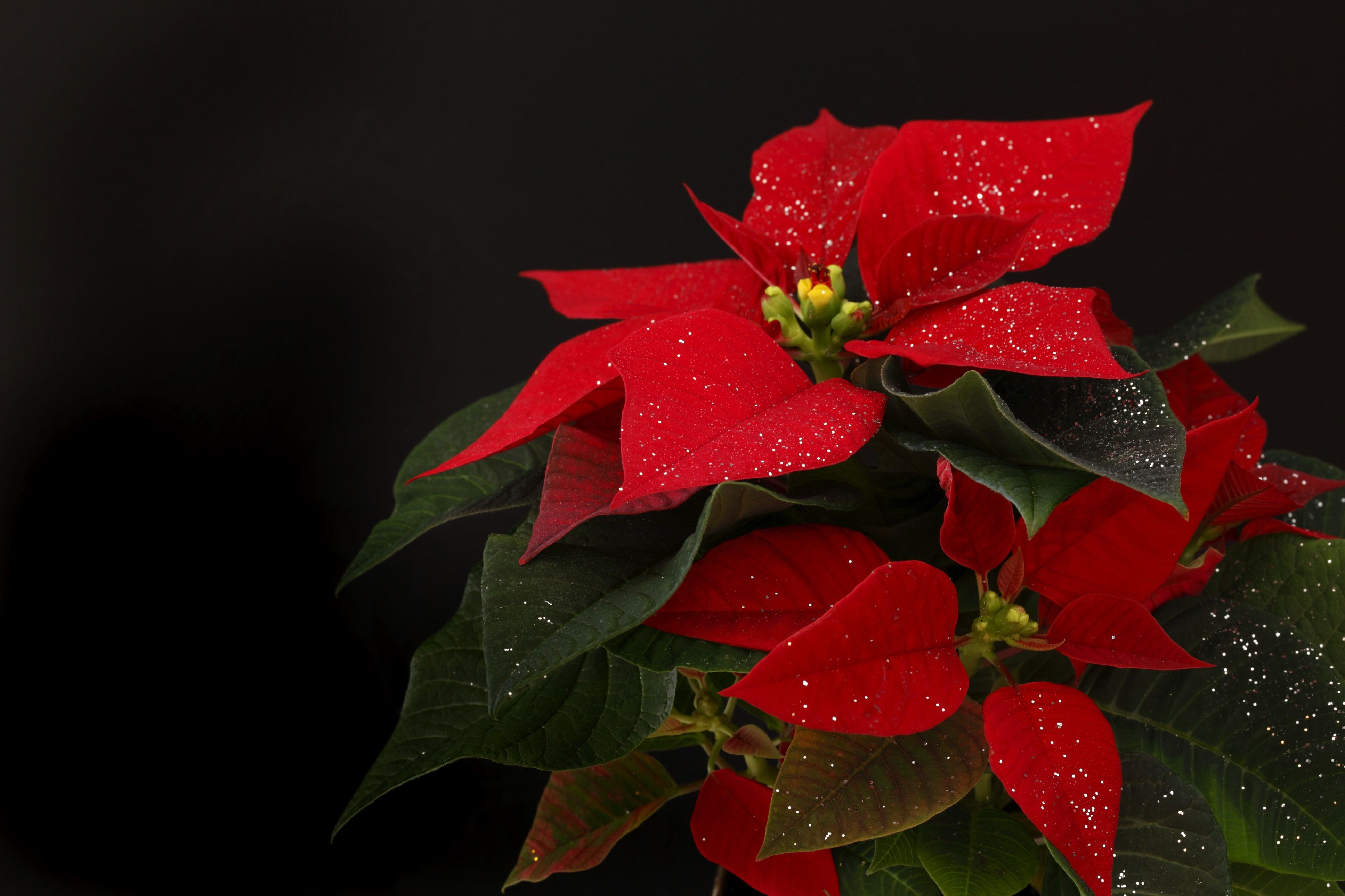 Poinsettias Are NOT Poisonous, But There's Something Else