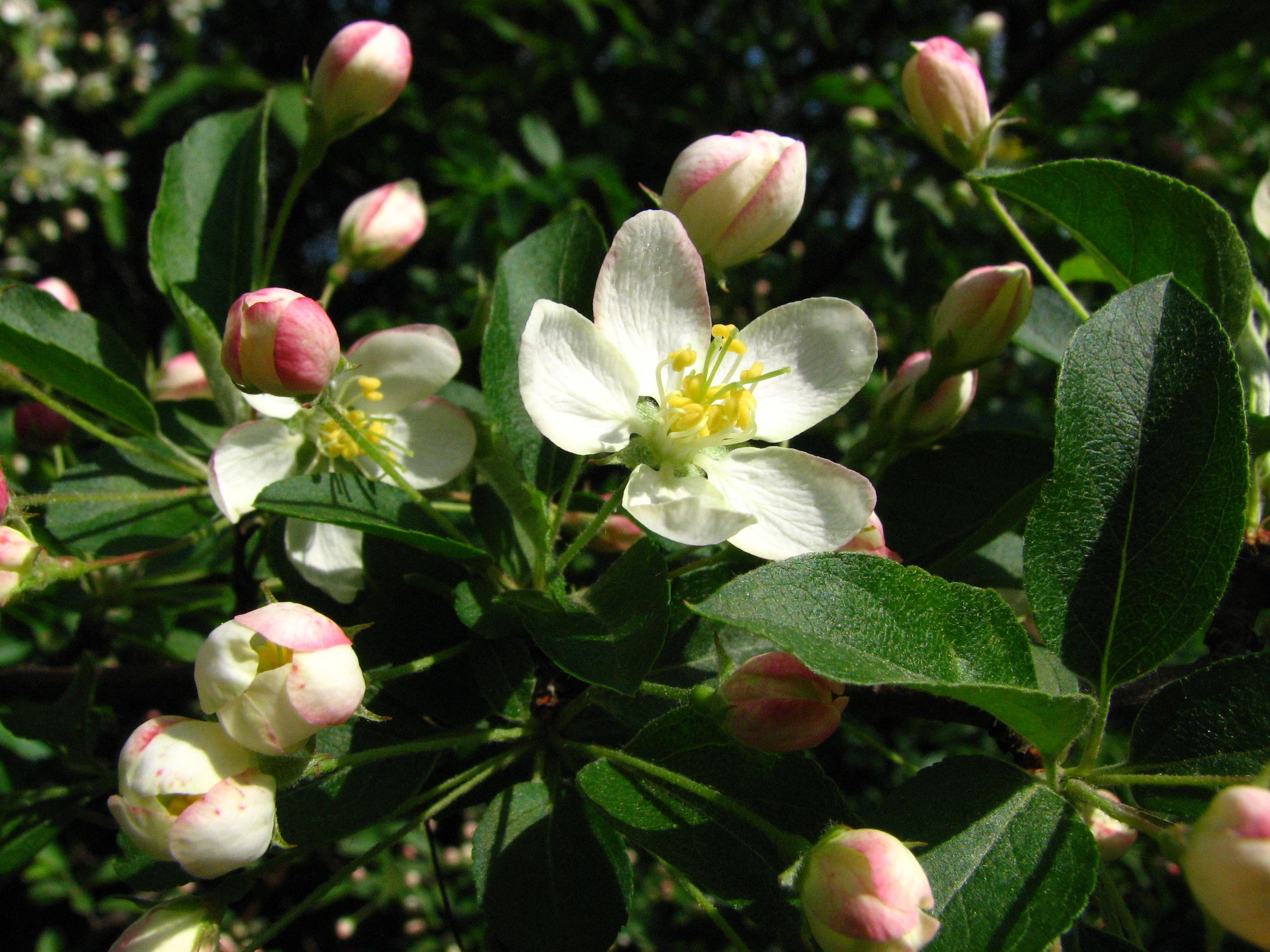 Malus sargentii - Google Search