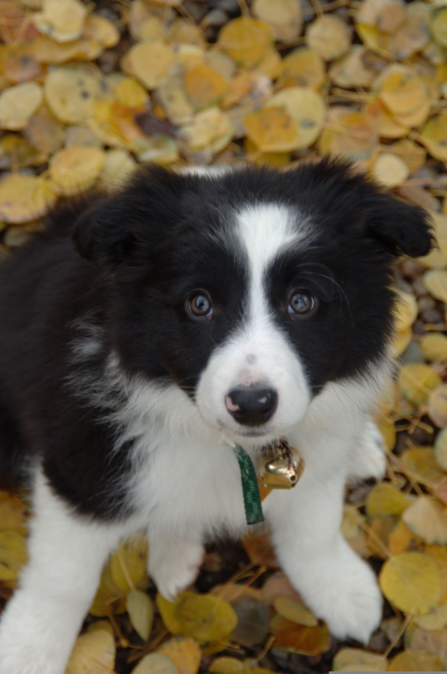 Allie in the autumn adorable border collie puppy