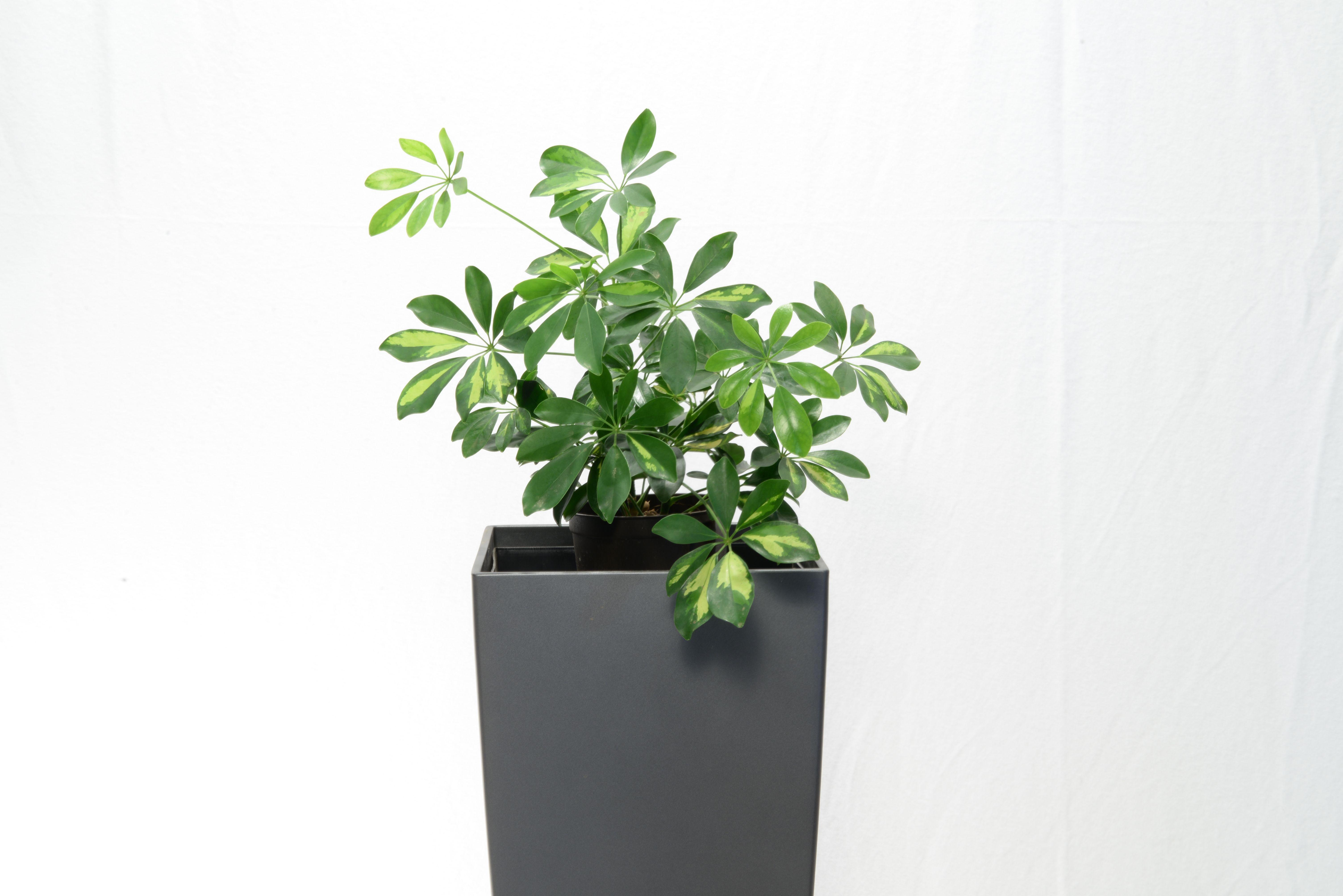 Philodendron und Schefflera filtern besonders gut ...