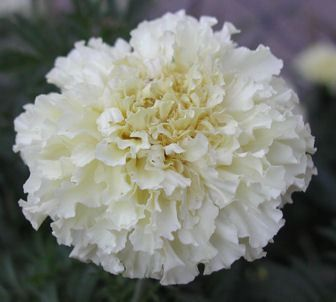 White Marigold Companion For Tomatoes Garden Wish List