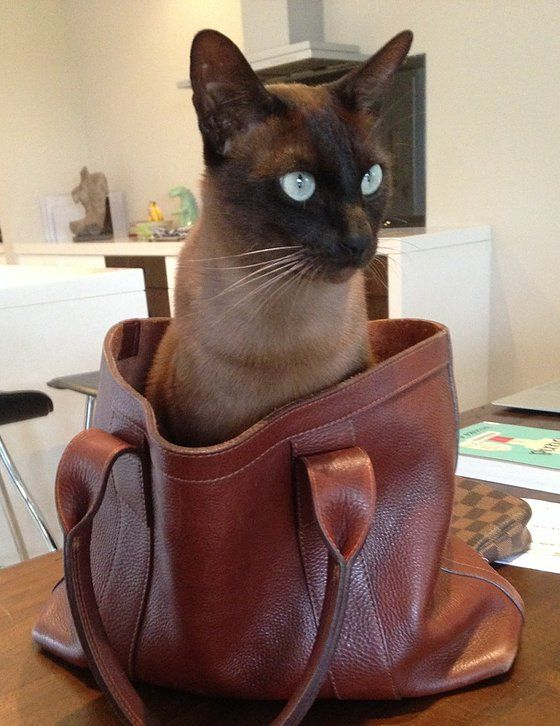 Tonkinese Cat And Scottie Dog Picture
