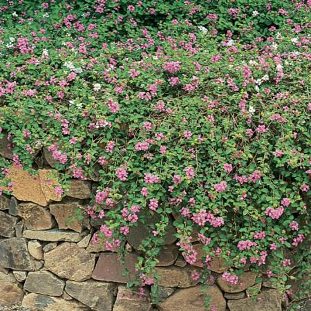 Trailing Lantana Lantana Montevidensis Common Names Weeping Lantana Light Full Sun X2f Part Sha Australian Garden Ground Cover Plants Landscaping With Rocks