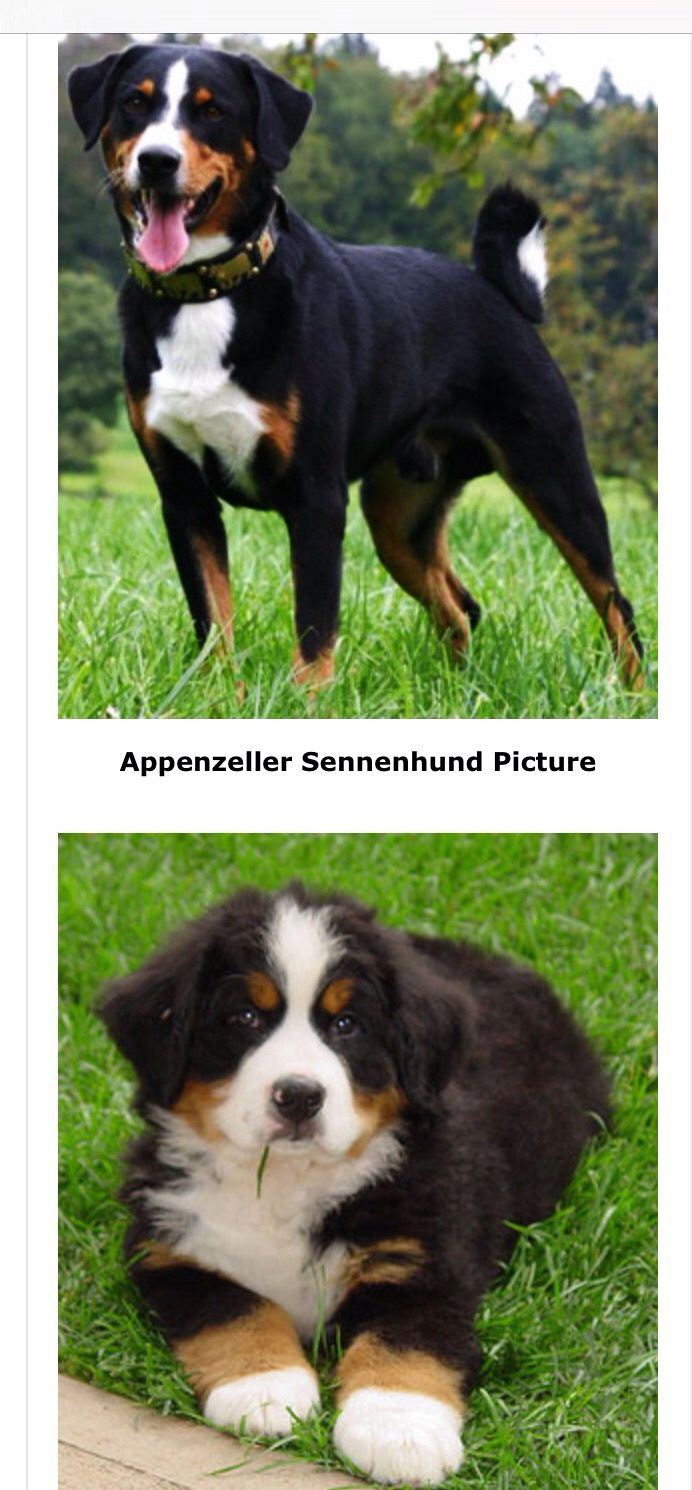 Appenzeller Sennenhund Adult And Puppy Dog Breeds Dogs Breeds
