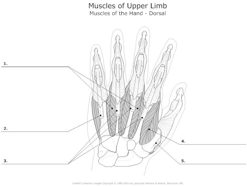 Wrist And Hand Unlabeled Diagram Car Alarm Installation Wiring Diagrams Muscles Teaching Pinterest Muscle Muscular
