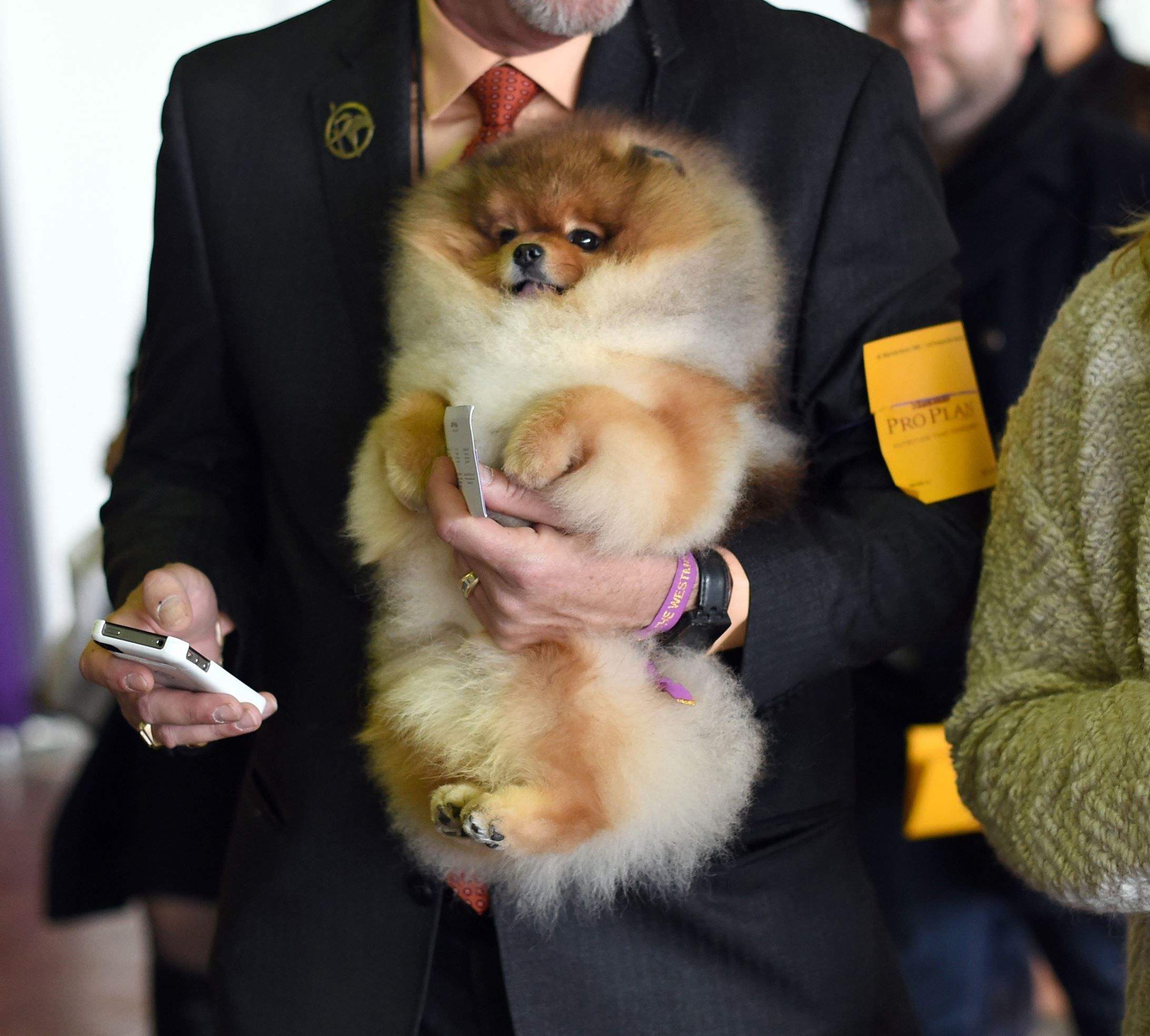 2015 Westminster Dog Show He S Adorable Handler Has Hands Full A