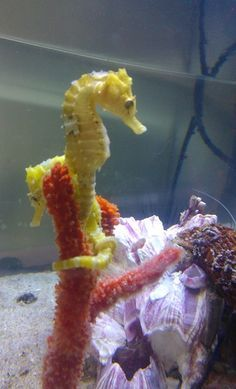 Hyppocampus / Caballito de mar / Seahorse on Pinterest | 442 Pins