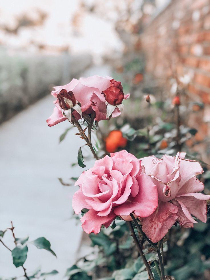 Rose Photography Pink Flowers Vintage Flower Backgrounds Flower Backgrounds Flower Aesthetic