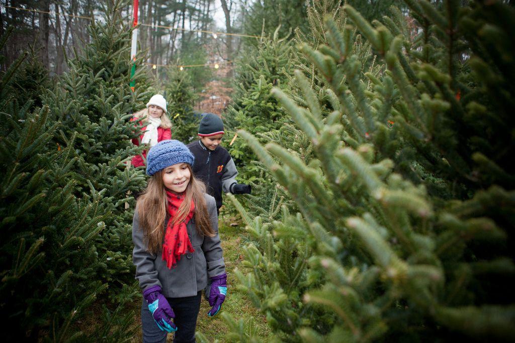 Long Island Christmas Tree Farm Guide 2016 Christmas Tree Farm Christmas Tree Shop Tree Farms