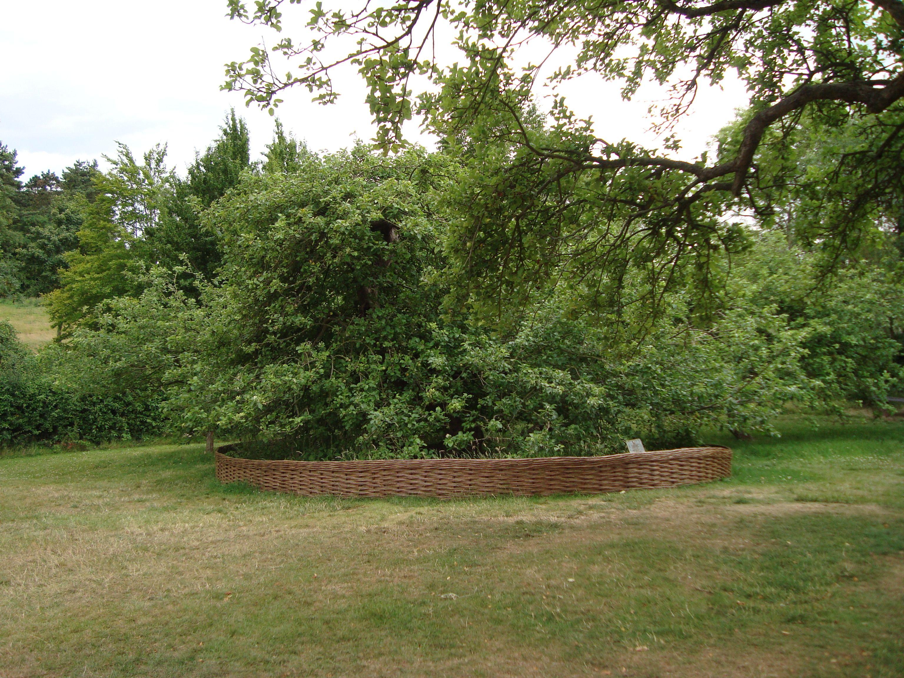 Isaac Newton's apple tree, Grantham Isaac newton, Apple