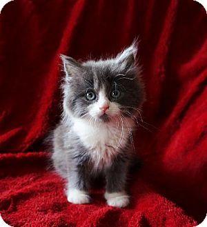 Maple Grove Mn Domestic Longhair Meet Pearl A Kitten For Adoption Kitten Adoption Cute Cats Here Kitty Kitty