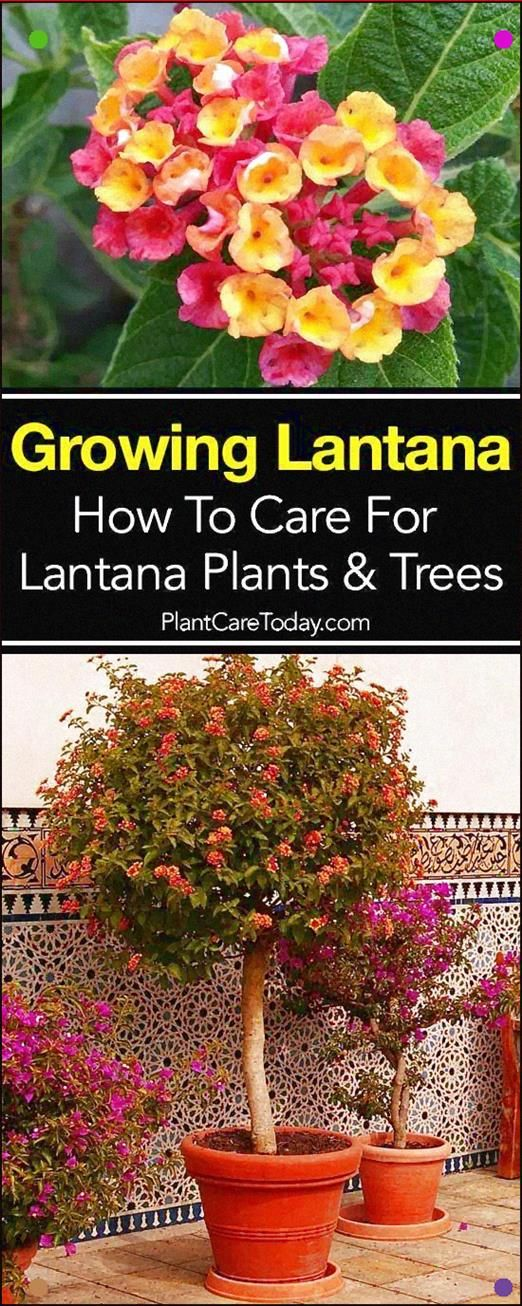 The Lantana Plant A Bright Sun Loving Plant Producing Flowers In Abundance And Rewarding You With Lots Of Color Acing Lantana Plant Sun Loving Plants Plants